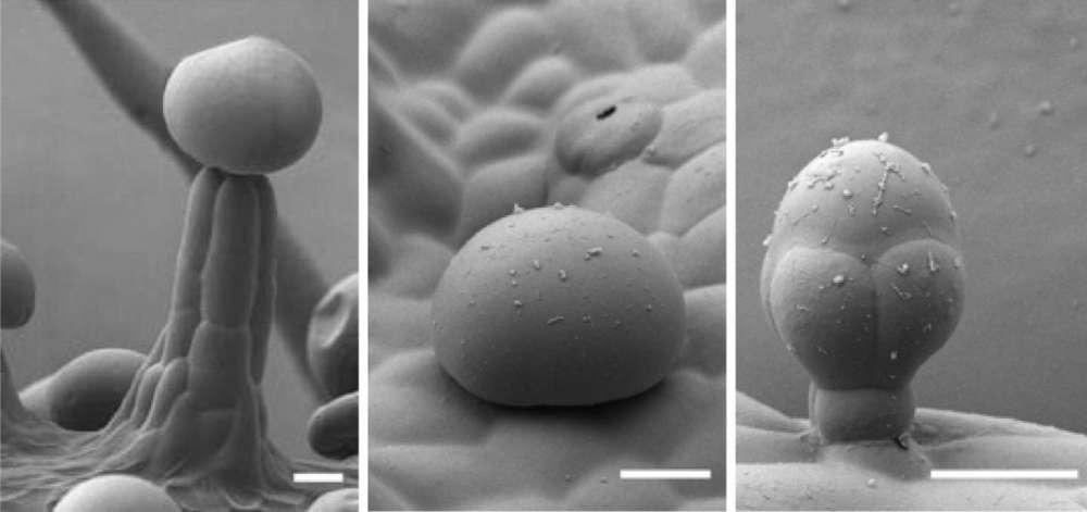 از چپ به راست: خارهای غدهای کانابیس در شکلهای ساقهدار، بیساقه و پیازی. Samuels Lab/UBC